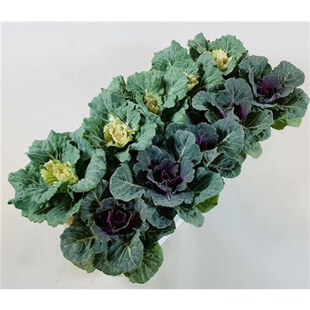 <h4>Brassica Glad Mix</h4>