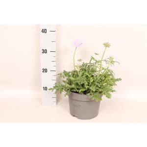 vaste planten 19 cm  Scabiosa 'Pink Mist'