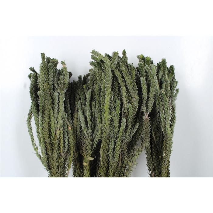 <h4>Buxifolia</h4>