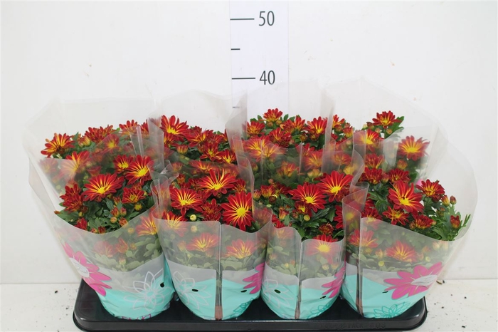 <h4>Chrysanth Rainbow Passion</h4>