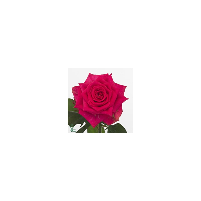 <h4>Rosa Gr. Marina</h4>