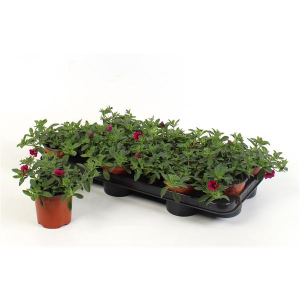 <h4>Calibrachoa Minifamous Cherry Pink</h4>