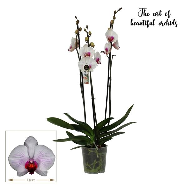 <h4>Phalaenopsis Denver</h4>