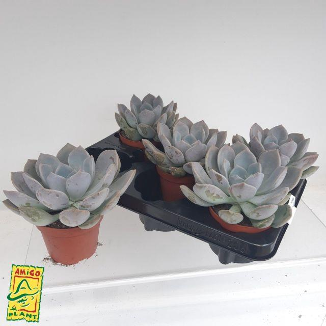 <h4>Echeveria Garoto 10,5Ø 12cm</h4>