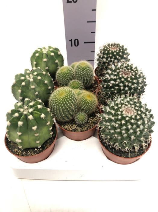 <h4>Cactus mix boll 8,5Ø 5cm</h4>
