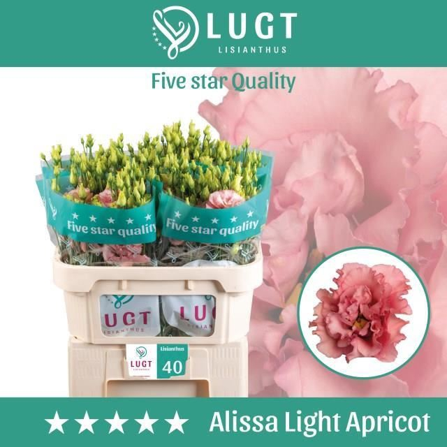 <h4>Lis G Alissa Light Apricot</h4>