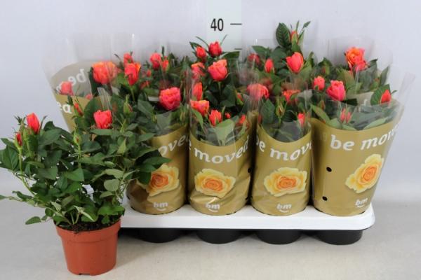 <h4>Rosa  'Orange Beau Monde'</h4>