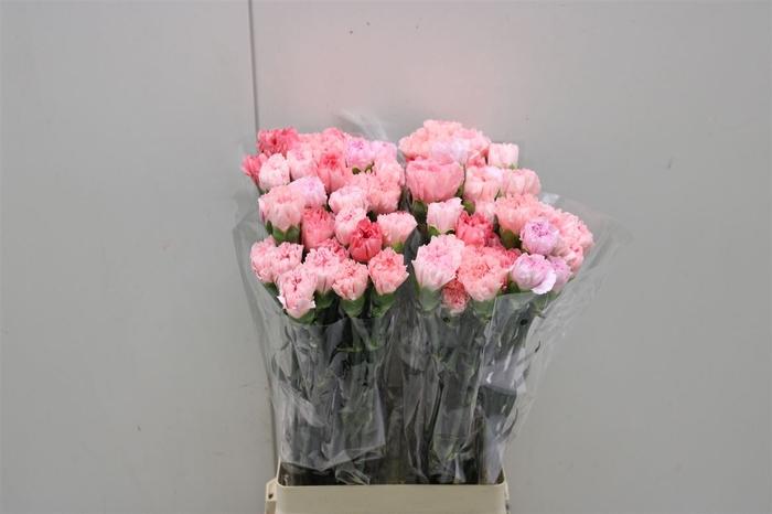 <h4>Di St Rainbow Pink & Fuschia</h4>