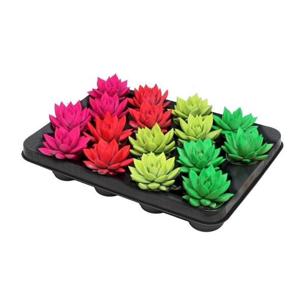 <h4>Echeveria coloured neon mix</h4>
