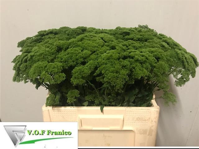 <h4>TRACH BRIBA GREEN</h4>