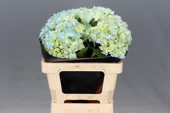 <h4>Hydrangea Blue Select Super</h4>
