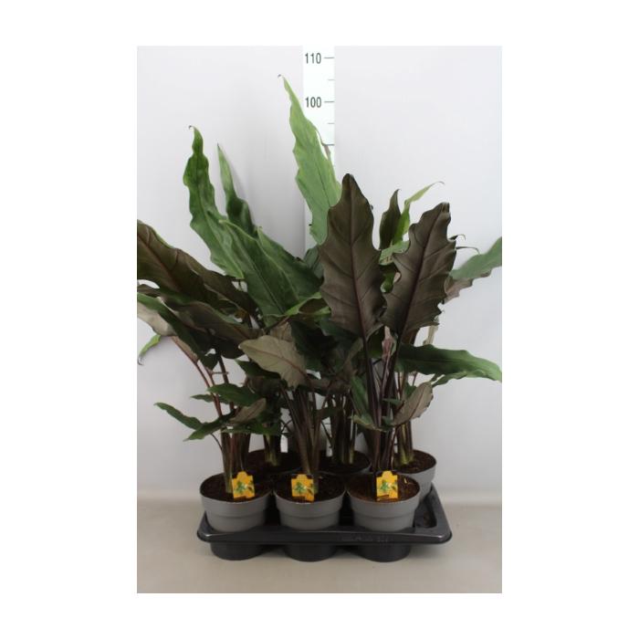 <h4>Alocasia lauterbachiana</h4>