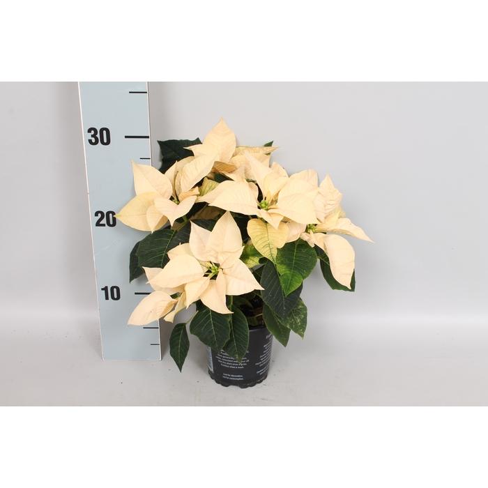 <h4>Poinsettia 10,5 cm Mars White</h4>