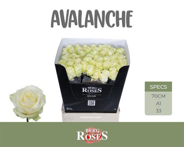 <h4>R GR AVALANCHE+</h4>