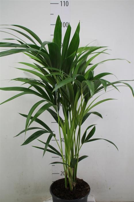 <h4>Howea Forsteriana 100 Cm</h4>