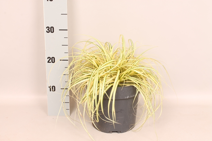 <h4>vaste planten 19 cm  Carex oshimensis Evergold</h4>