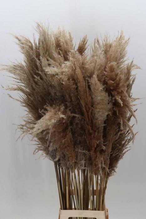<h4>Cortaderia Naturel Droog</h4>