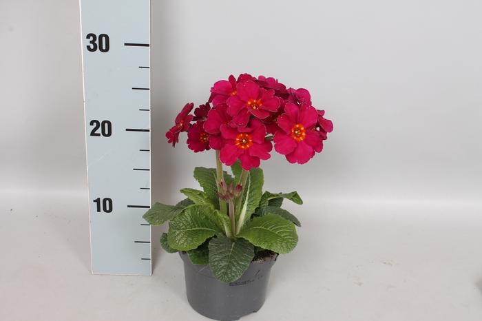 <h4>Primula elatior Crescendo 13cm Purple</h4>