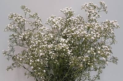 Gypsophila Million Star (p/bunch)