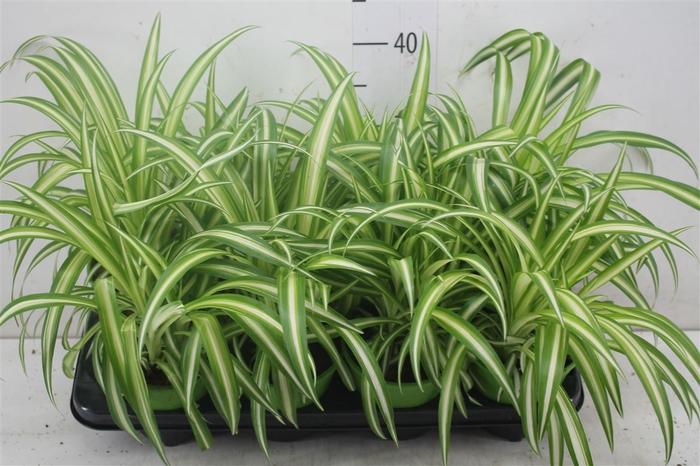 <h4>Chlorophytum Co Variegatum</h4>