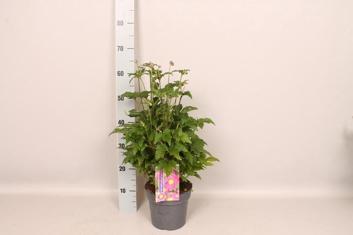<h4>vaste planten 19 cm  Anemone Prinz Heinrich</h4>