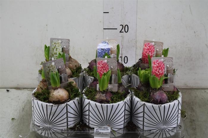 <h4>Hyacinth Mix 3601 Sunshine 3pp Mos</h4>