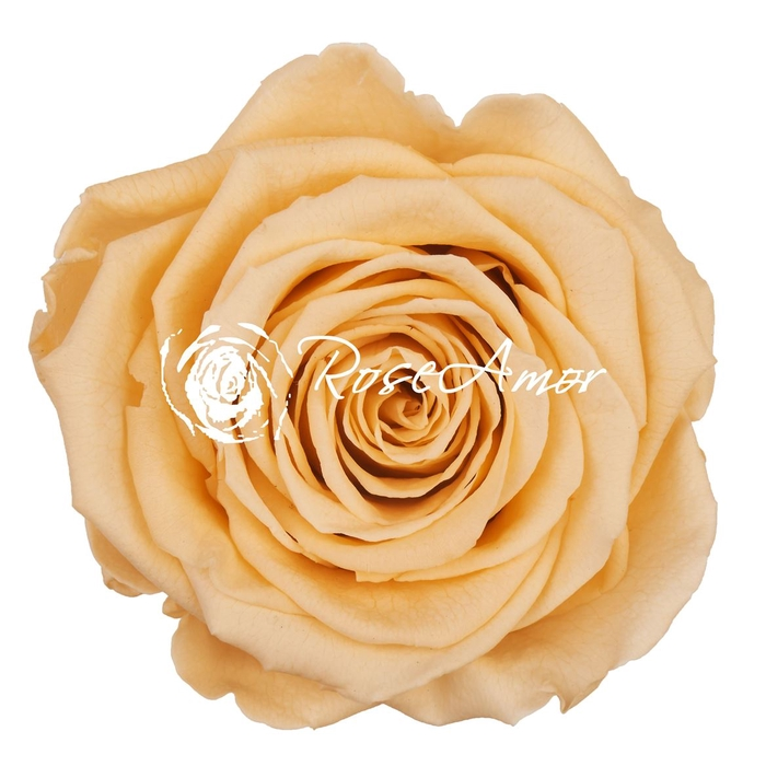 <h4>PRESERVED ROSA XL CHA 99</h4>