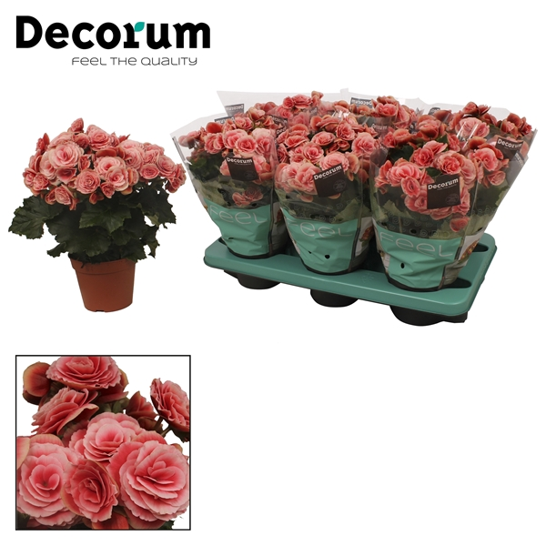 <h4>Begonia ''borias'' rose gevlamd</h4>