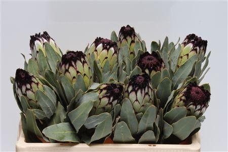 <h4>Protea Barb Niobe Large</h4>