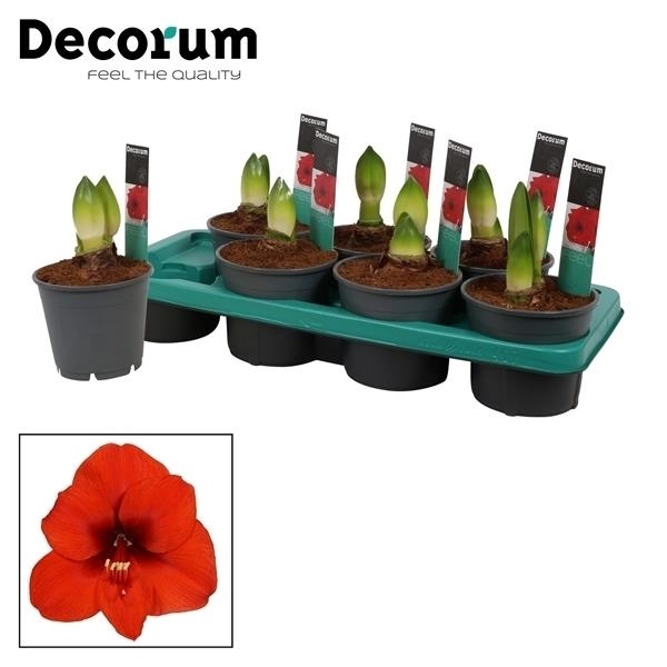 <h4>Hippeastrum Merry Christmas 2 Knop (Decorum) XL flower</h4>