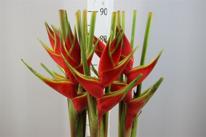 <h4>Heliconia Kameroen</h4>