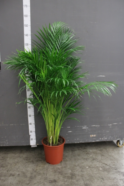 <h4>Dypsis lutescens   ...Chrysalidoca</h4>