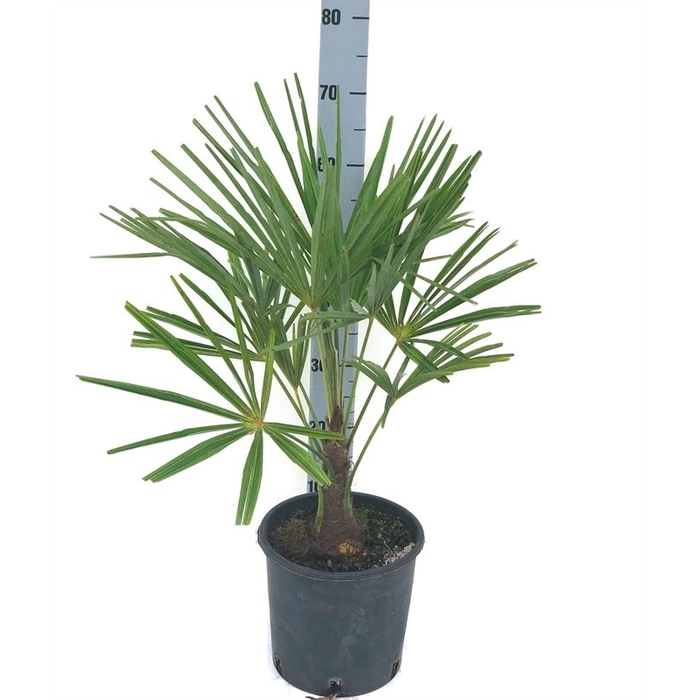 <h4>Trachycarpus fortunei</h4>