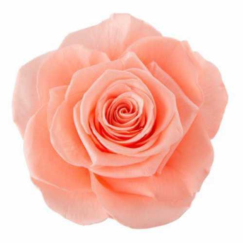 Rose Ines Peach