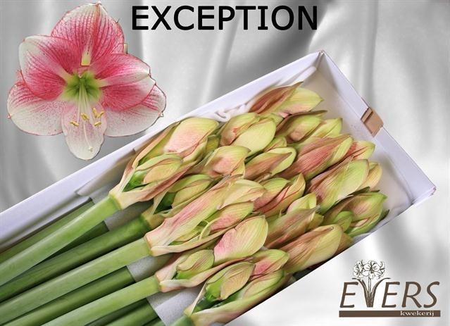 <h4>Amaryllis Exception</h4>