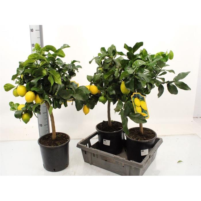 <h4>Citrus Lemon Stem (it-19-1880)</h4>