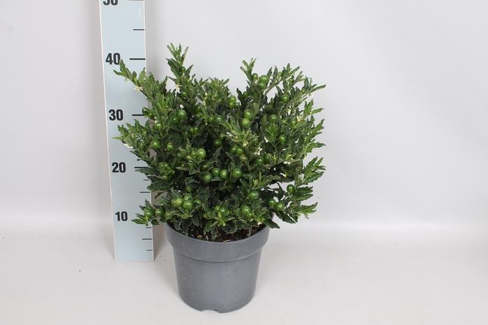 Perkplanten 19 cm Solanum Tucana
