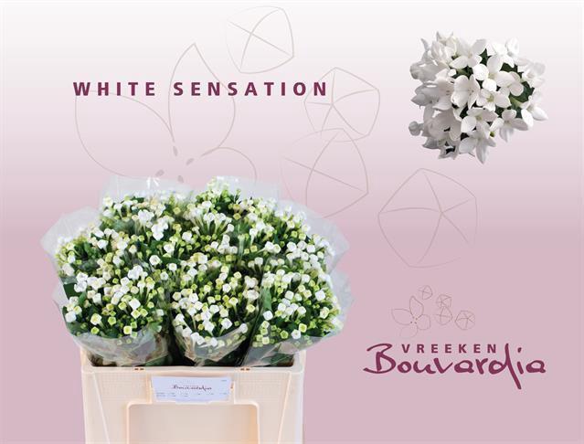 <h4>Bouvardia White Sensation</h4>