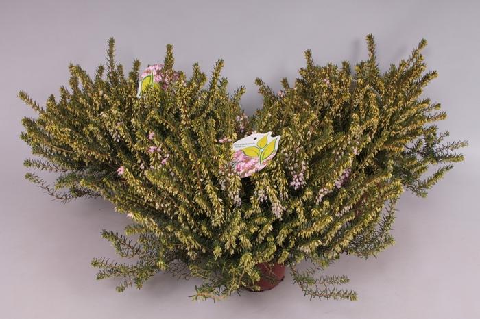 <h4>Erica darleyensis 'Darley Dale' rose</h4>