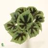 Begonia leaf Masoniana 17Ø 40cm