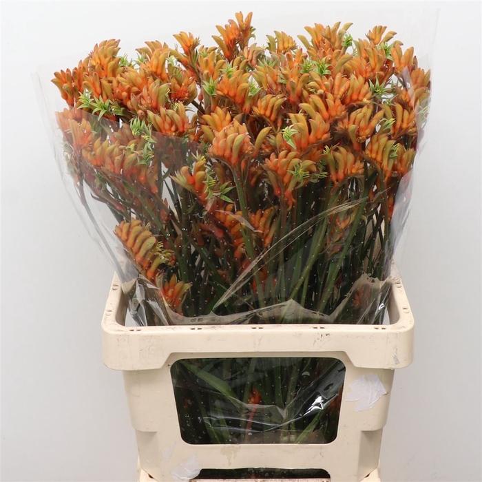 <h4>Anigoz Amazon Orange</h4>