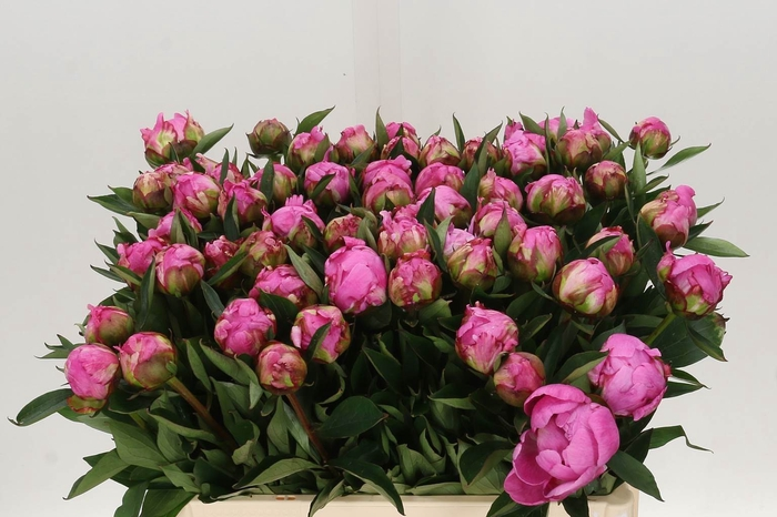 <h4>Paeonia L Dr A Fleming</h4>