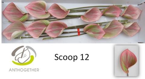 <h4>ANTH SCOOP</h4>