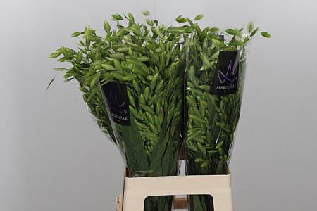<h4>Siergras Chasmanthium Latifolium</h4>