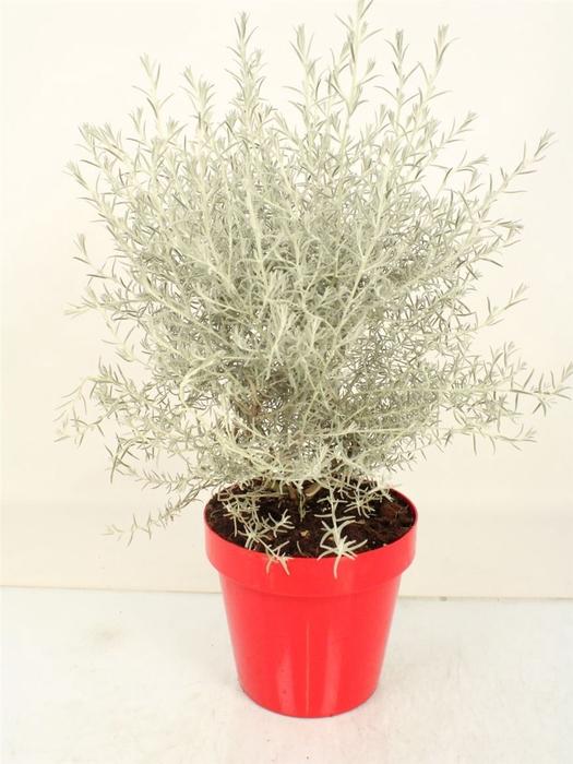 <h4>Eremophila Nivea Bush</h4>