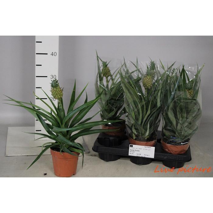 <h4>Ananas Candido</h4>