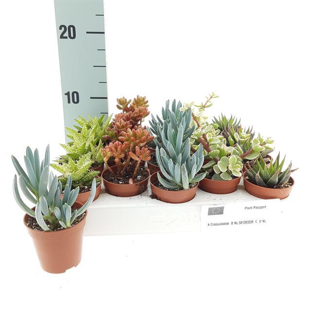 <h4>Succulenten mixed 5Ø 7cm</h4>