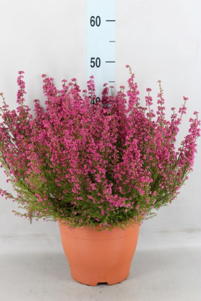 <h4>Erica gracilis   ...</h4>