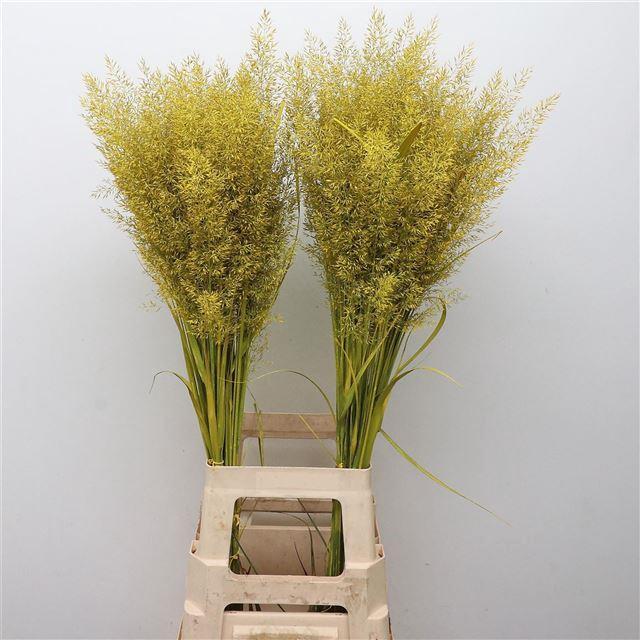 <h4>Calamagrostis Brachy Geel</h4>