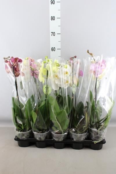<h4>Phalaenopsis   ...mix</h4>